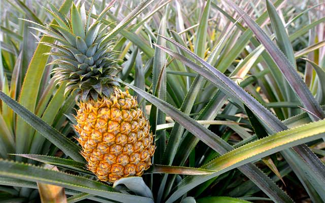 Pineapple and Its Enzymes