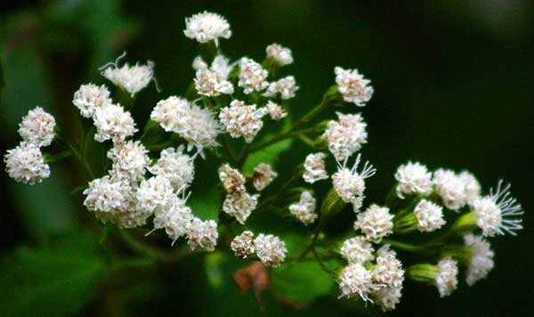 Dare to Use Snakeroot Extract