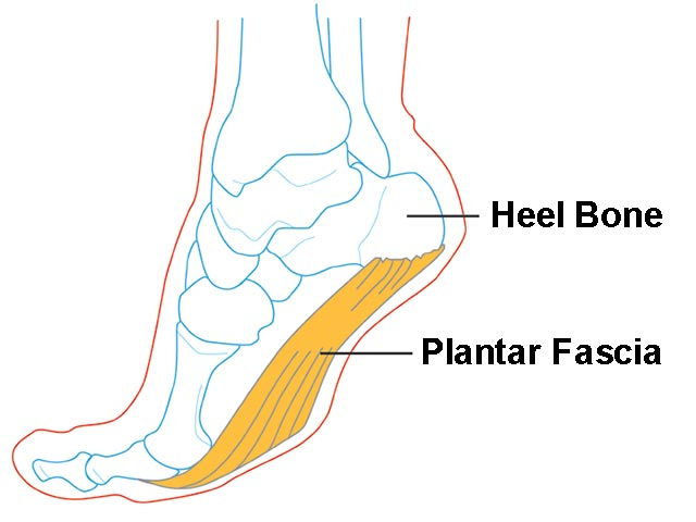 anatomy and physiology of plantar fascia
